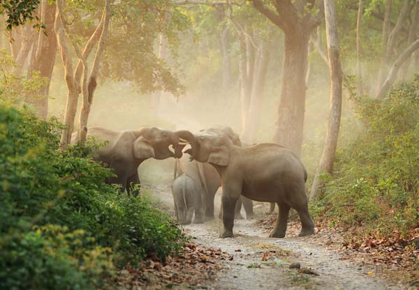 Elephants with their trunks entangled in the forest