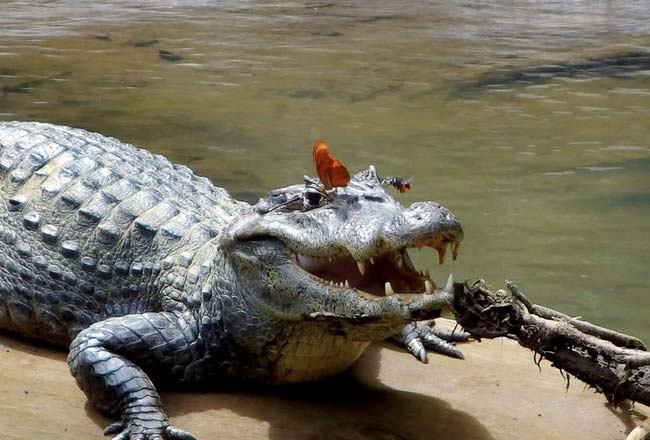 Butterfly and bee drinking crocodile tears