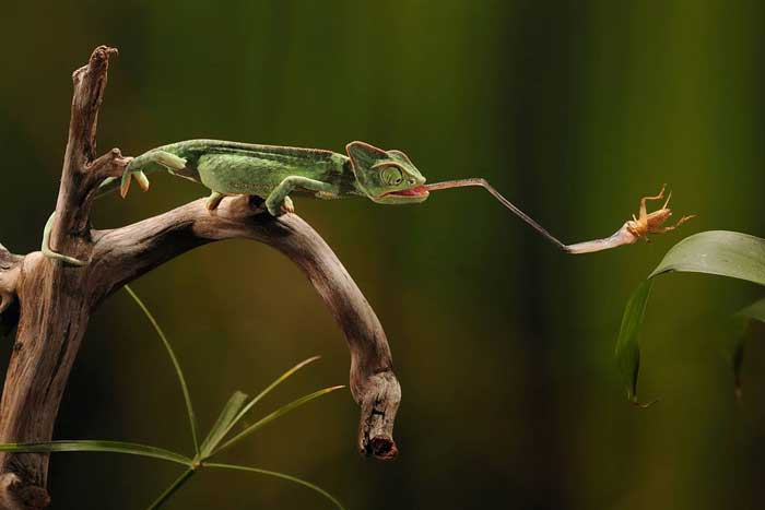 Chameleon using it's tongue to catch insect