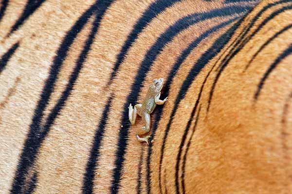 Frog clinging onto tiger