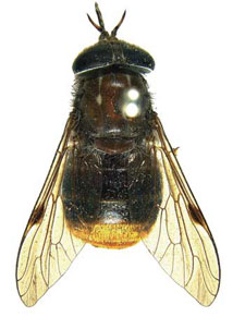 Horse Fly named after Beyonce