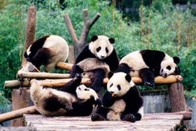 A group of pandas