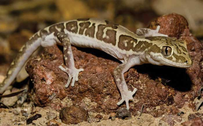 Box-patterned Gecko