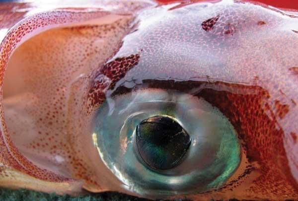 Eye of the Colossal Squid