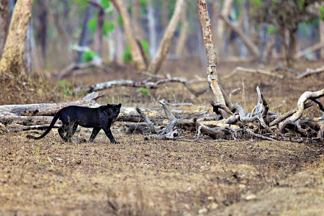 Black leopard in the wild
