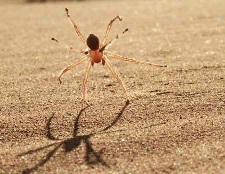 Cebrennus Rechenbergi spider