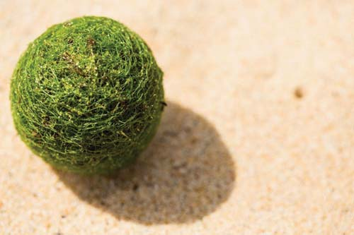 Moss balls or Marimo lying on the sand