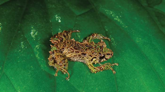 Pristimantis mutabilis sitting on a green leaf