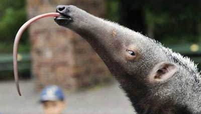 Anteater flicking out its tongue
