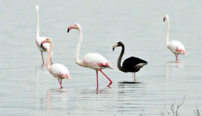 Black greater flamingo