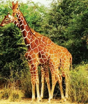 Two giraffes standing together