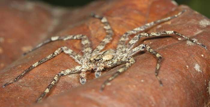 Selenops spider