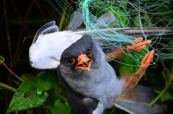 Male Amur Falcon snared in a fishing net. Photo: Shashank Dalvi / Conservation India