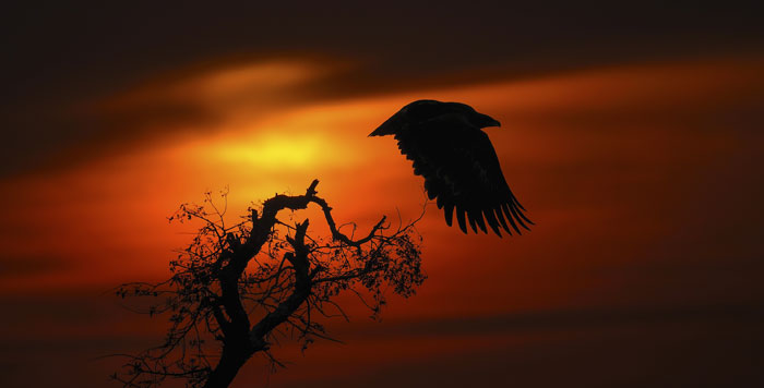 Steppe Eagle flying at sunset