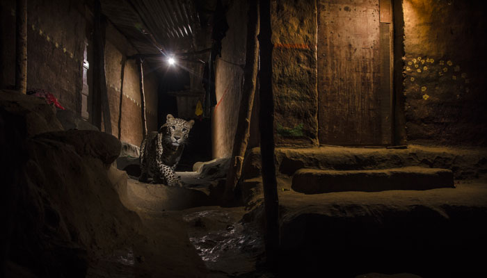 Award-winning photograph of a leopard by Nayan Khanolkar