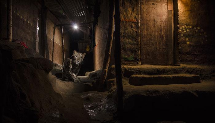 Award-winning photograph of a leopard by Nayan Khanolkar