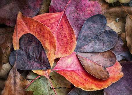 Heart-shaped autumn leaves