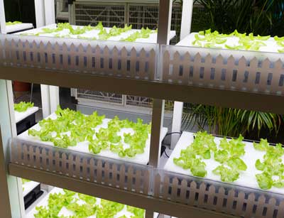 Lettuce being grown in a robot-run farm