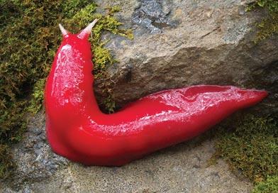 Giant fluorescent pink slug (Triboniophorus aff. graeffei)