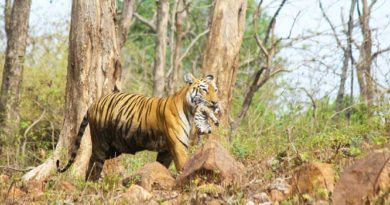 Tiger Maya with her cub