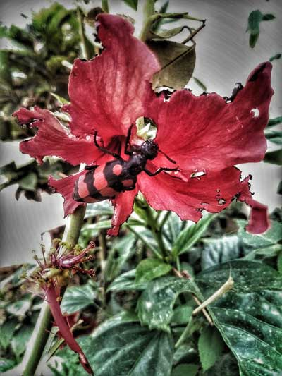 Red hibiscus flower with insect on it