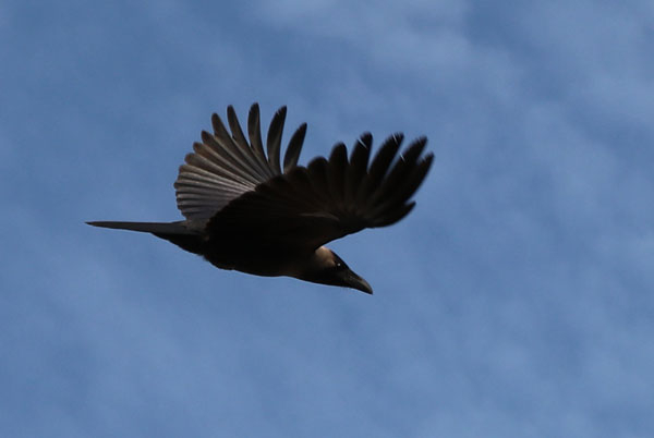 Crow flying high in the blue sky