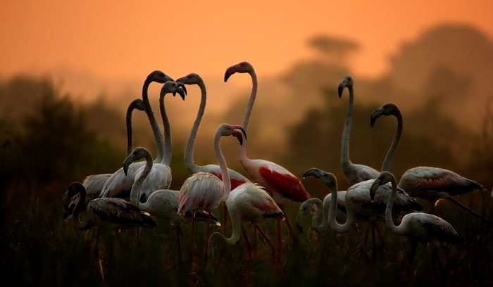 A flock of Greater Flamingoes in Thol Lake Bird Sanctuary in Gujarat