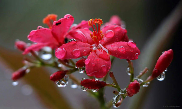 Red flowers with dewdrops on their petals