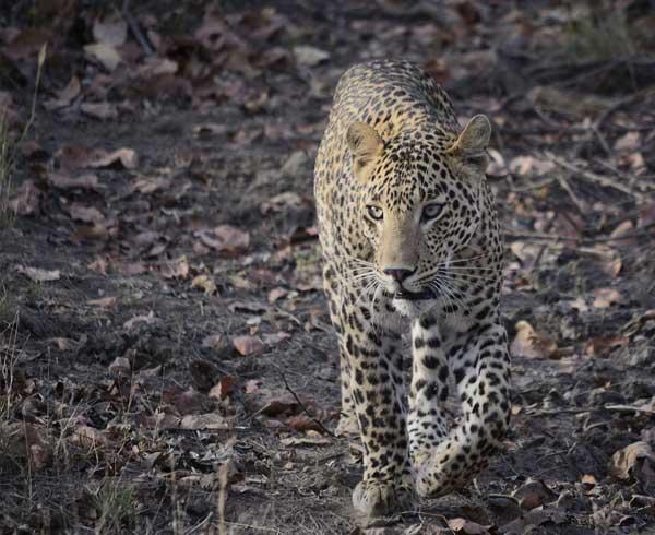 Leopard walking in the jungle