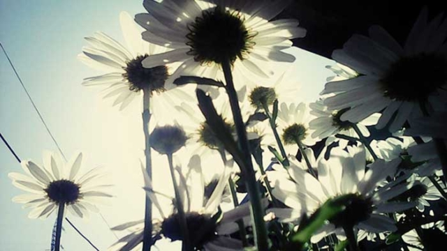 Daisies in the sunlight