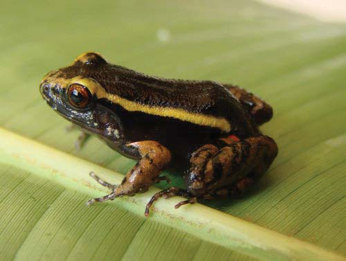 Amazonian frog, Lithodytes lineatus, sitting on a leaf