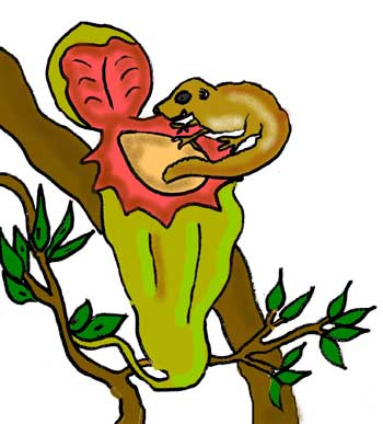 Tree shrew feeding on nectar of a pitcher plant