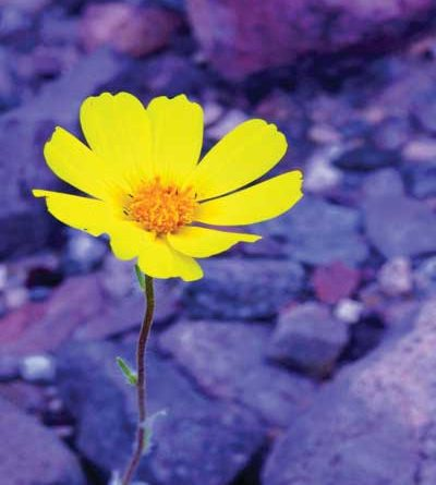 Yellow wildflower growing amidst rocks