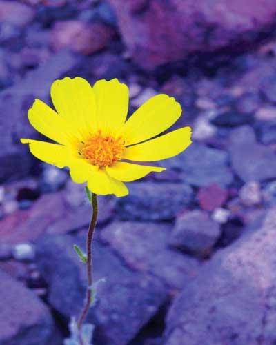 Yellow wildflower growing amidst rocks