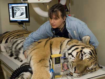 A female veterinarian treating a tiger