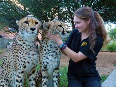 Female wildlife biologist examing two cheetahs