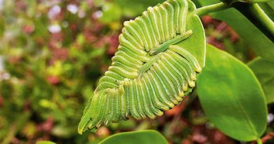 Forty two salmon arab butterfly caterpillars on a meswak leaf in Mumbai