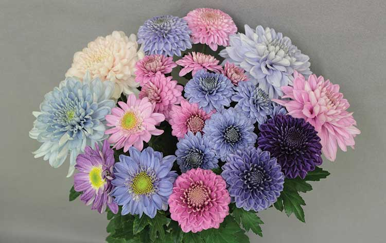 A bunch of blue chrysanthemums