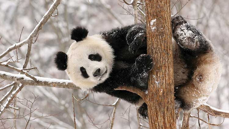 Panda clinging to a branch piled with snow