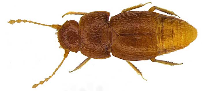 Nelloptodes gretae beetle