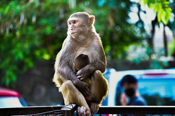 Adult monkey with baby monkey on a street