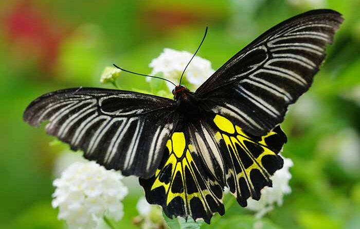 Golden Birdwing, Himalayan butterfly