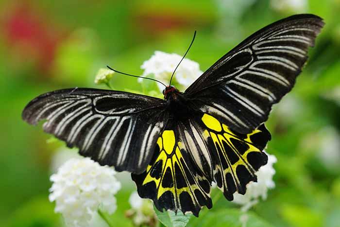Golden Birdwing, Himalayan butterfly