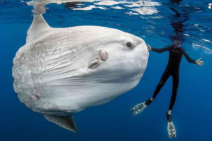 A diver swims near an Ocean sunfish or Mola