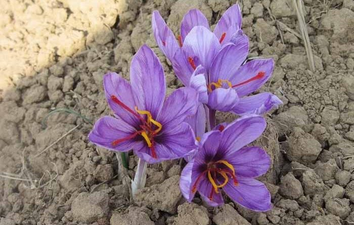 Kashmiri saffron flowers