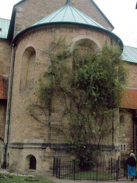Rose of Hildesheim