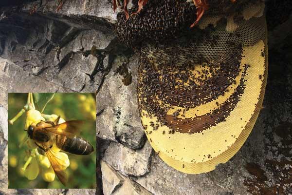 World's largest honey bee