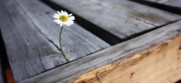 White daisy growing in between wood planks