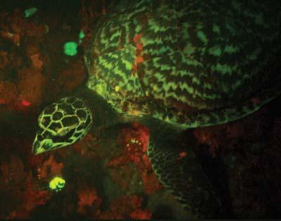 Hawskbill sea turtle