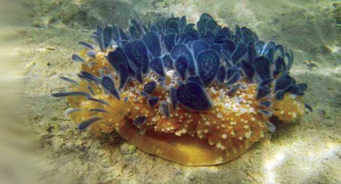 Jellyfish at the bottom of the lake in Ambarda, Gujarat